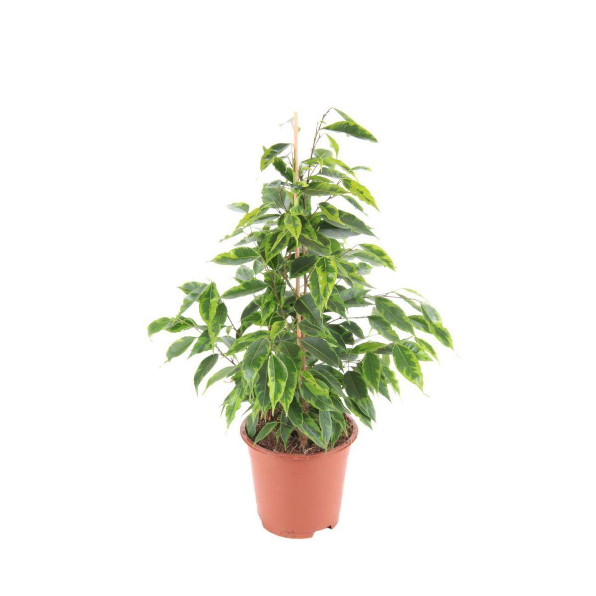 Figowiec Benjaminski Mix 35 Cm Plants Herbs Garden