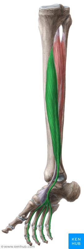 flexor digitorum longus muscle musculus flexor digitorum longus