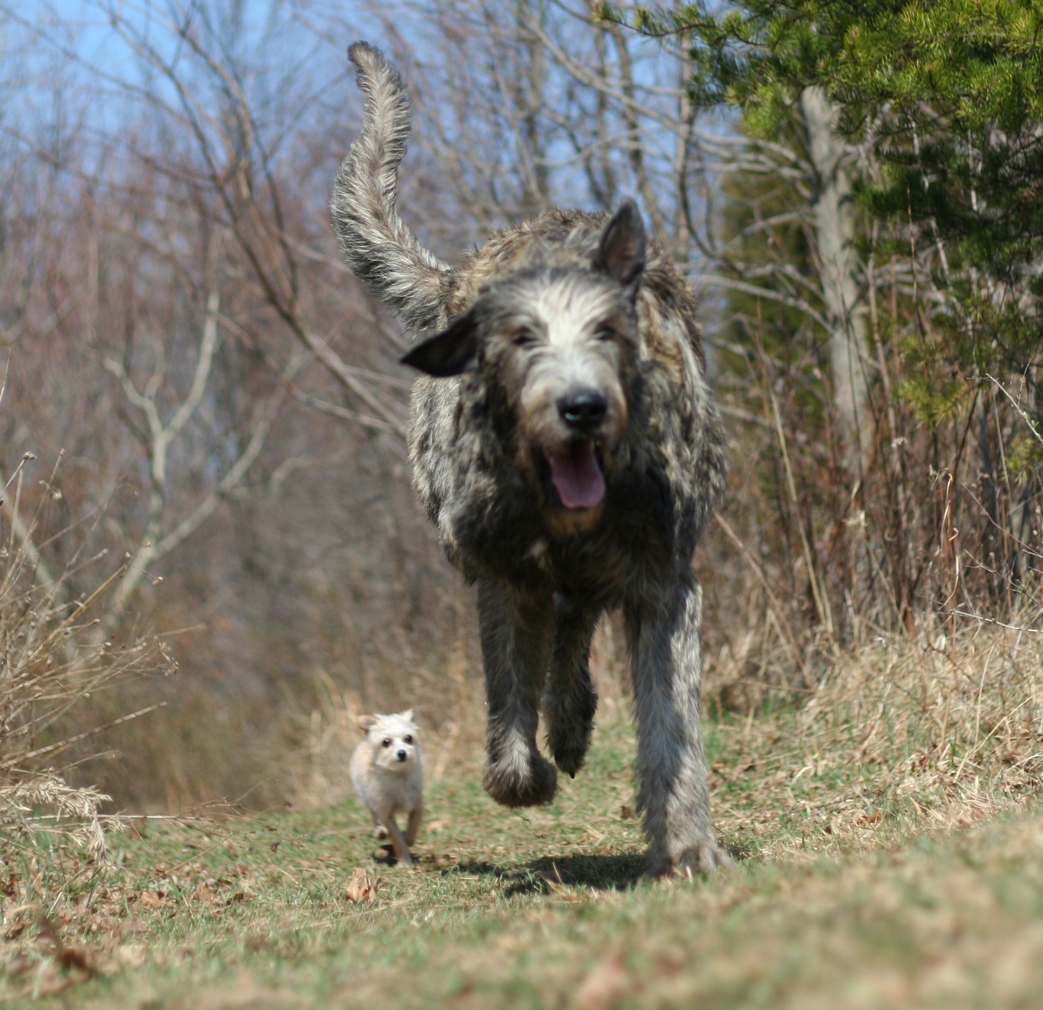 Irish Wolfhound Big Dog Breeds Irish Wolfhound Dogs
