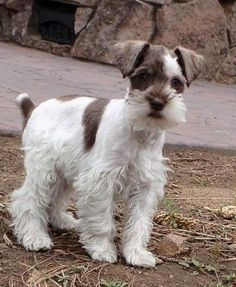 Lola, my Miniature Schnauzer at 3 months old, She's a liver pepper parti color.