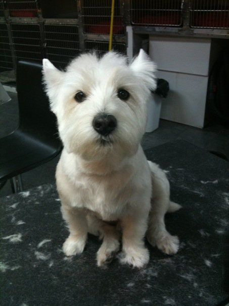 Pin On Home Waggle Of Westies 3