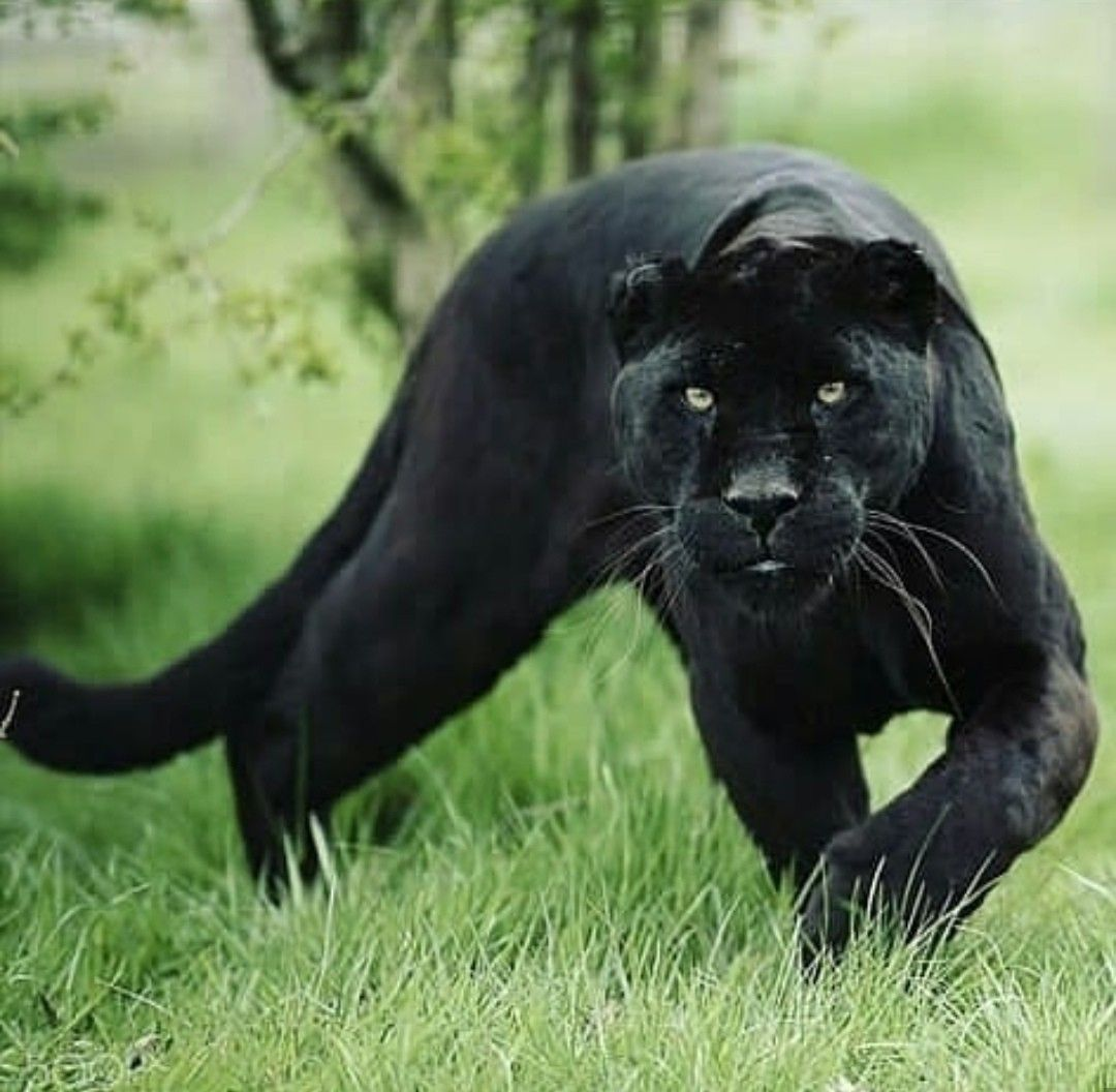 Black Panther/Jaguar mycatconciergecatsittingservices