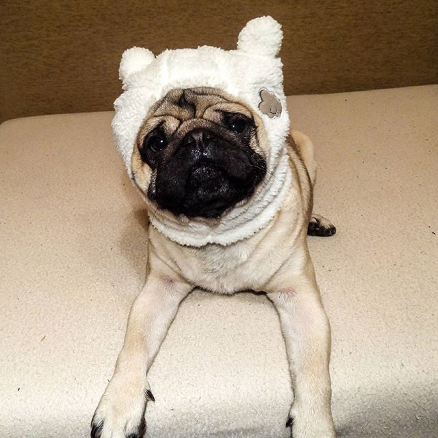 Pugsheep Mauricethepug Pug Pug Pugs Mops