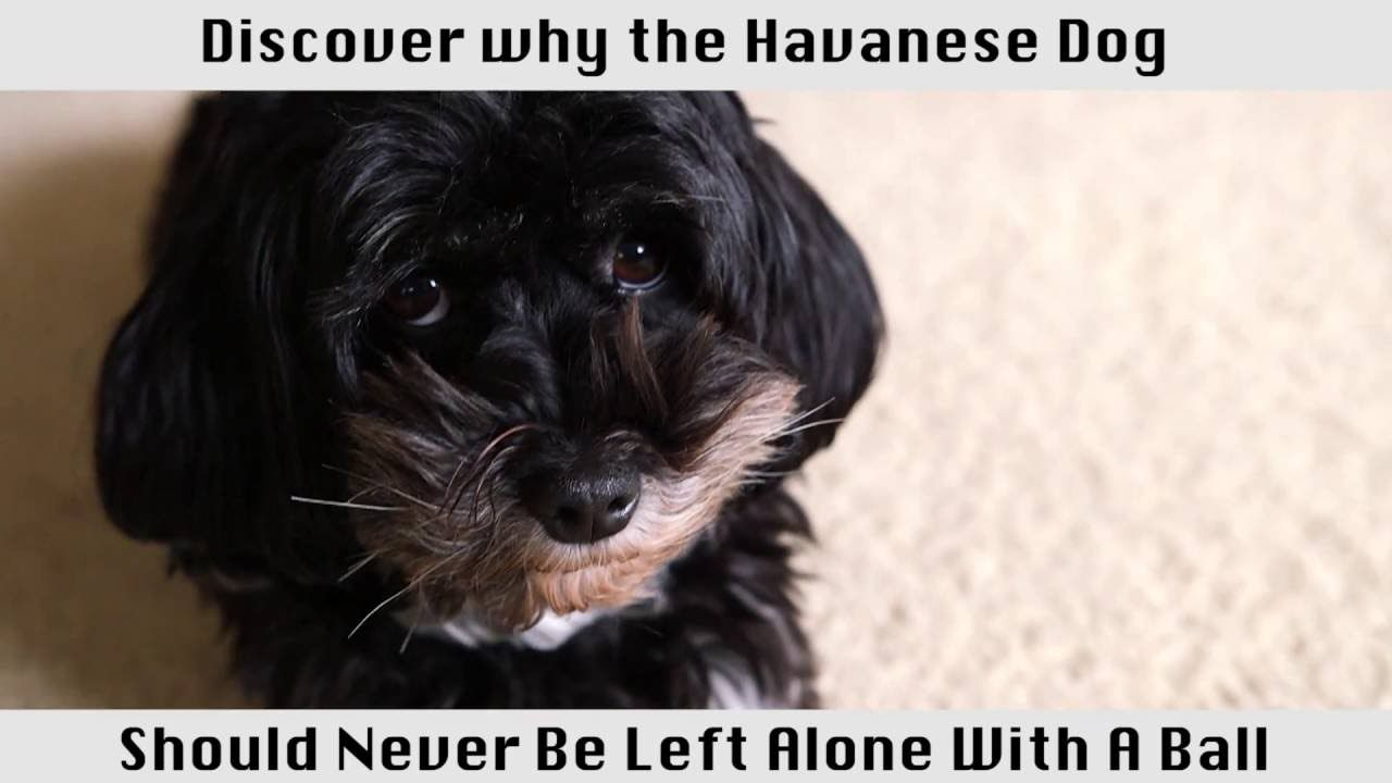 The Havanese Dog This Breed Of Dog Is Amazing In 2020