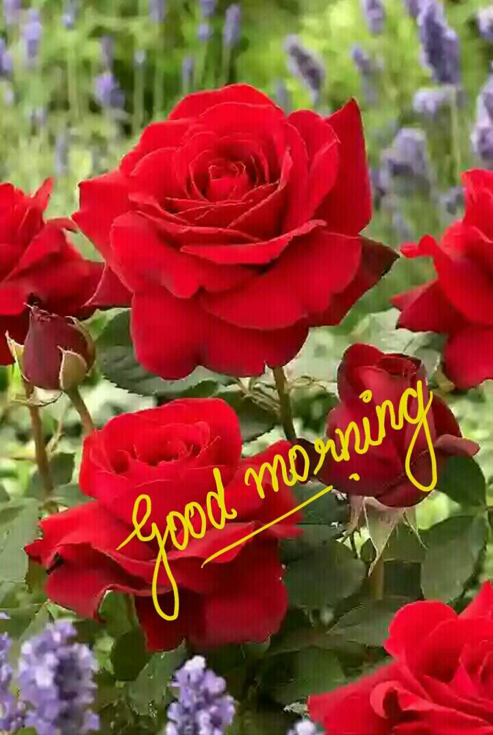 good morning with beautiful romantic red roses good night and rh pinterest com
