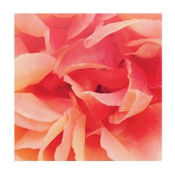 """sherbet rose 2"" for sale on minted.com"