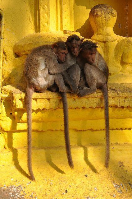 temple monkeys, shivaganga, india   travel + wildlife photography