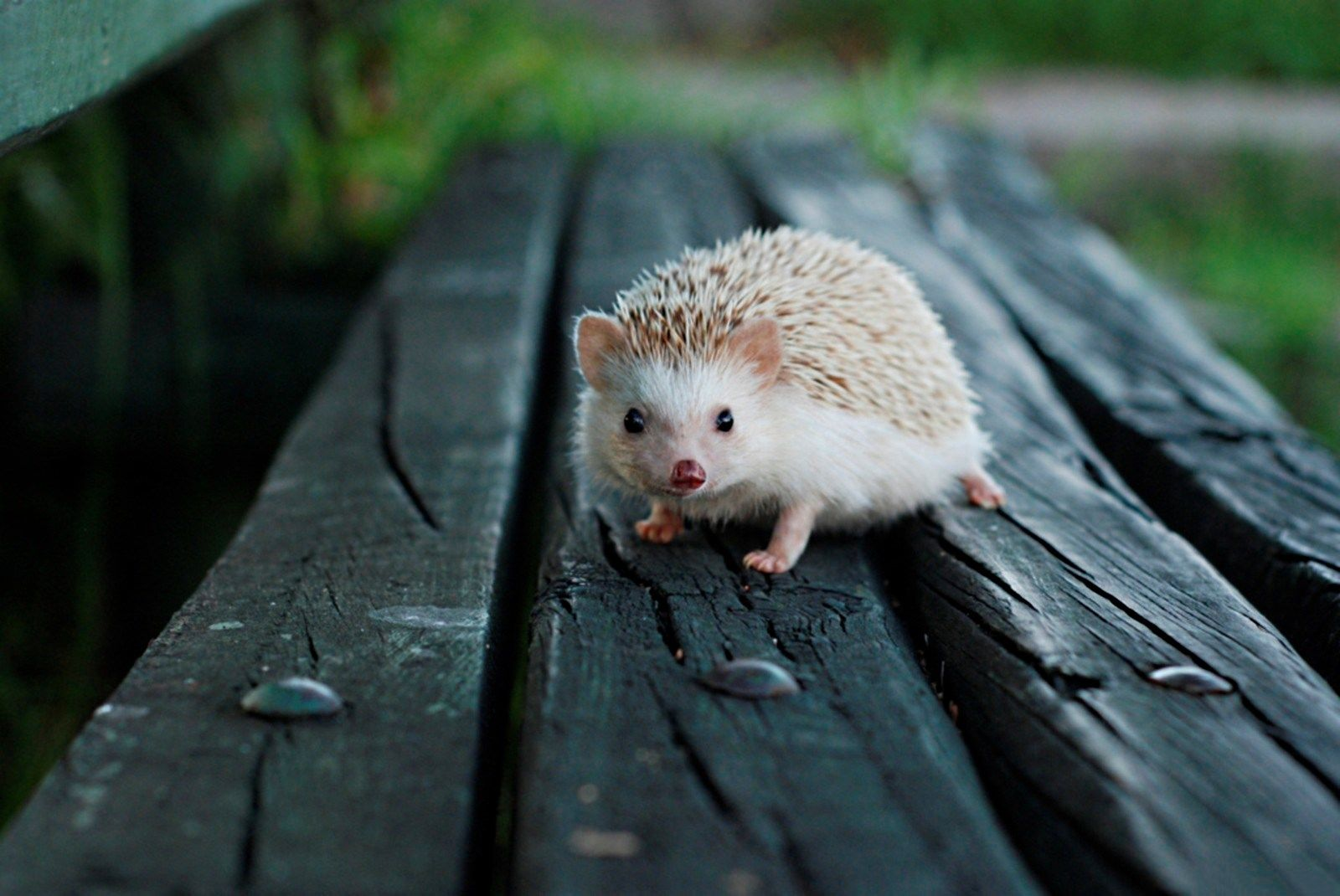 1600x1070 HD Widescreen hedgehog