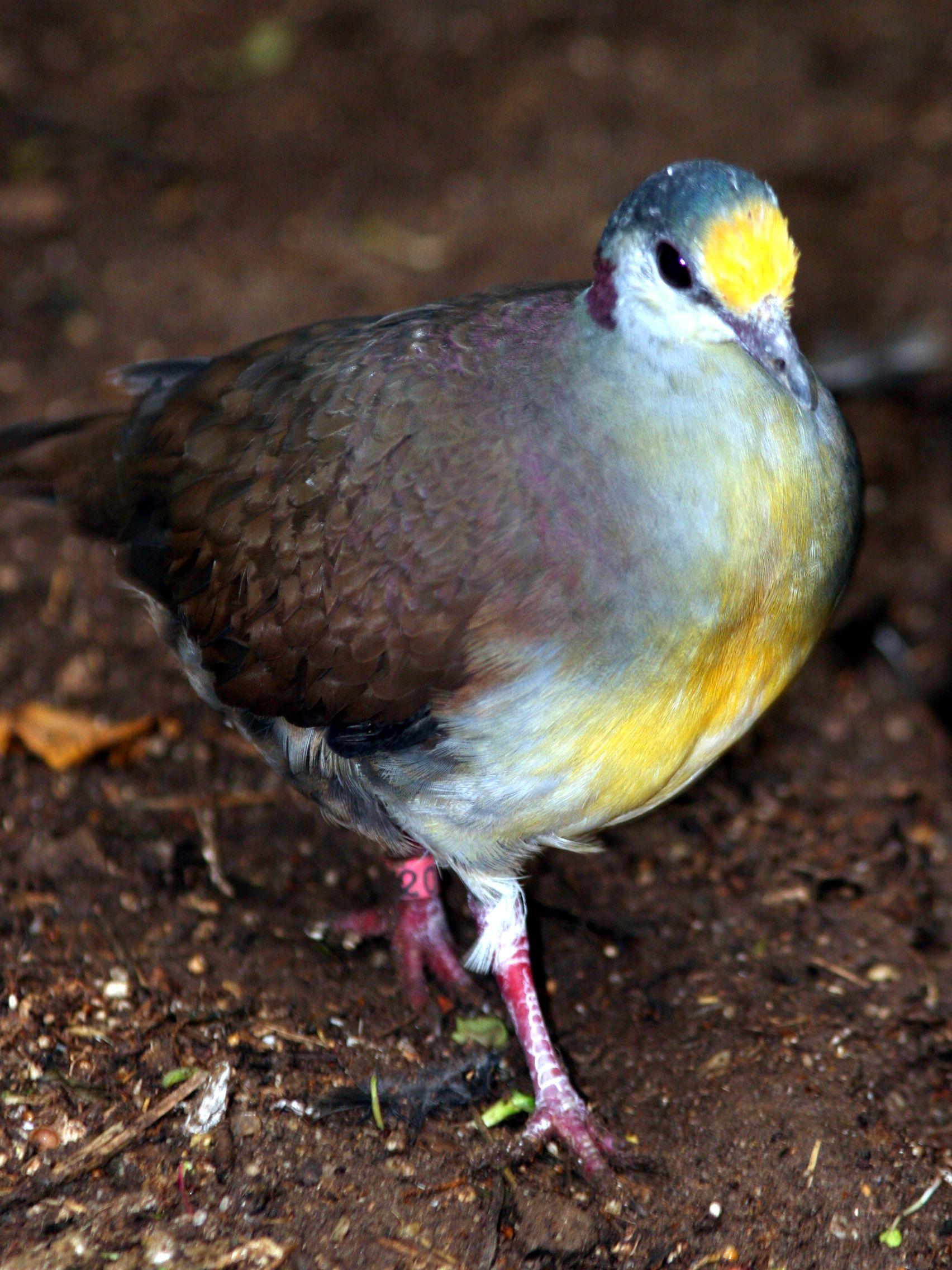Sulawesi Ground Dove Birds, Pigeon, Beautiful birds