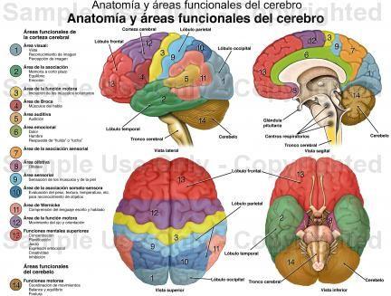 Hospital Santo Tomas: Anatomía y área funcionales del cerebro ...