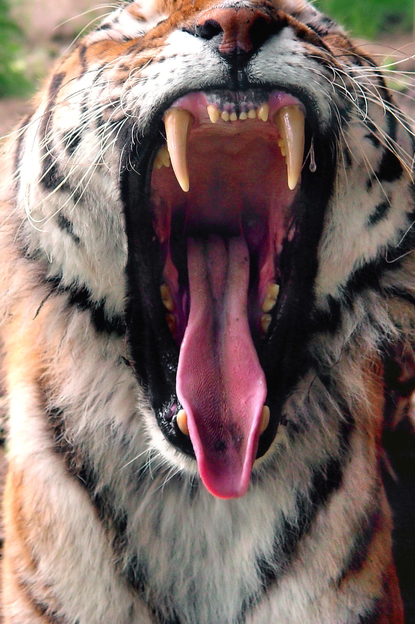 What Causes Yawning The Urge To Yawn Wild Cats Tiger Facts Tiger