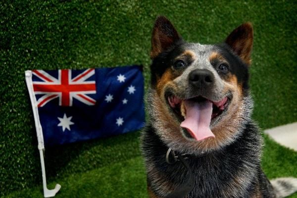 Is Your Pet A True Blue Aussie Jack Here Is Proud Of His Heritage This Weekend Can You Help Him Find His Furever Aussie Dogs Cattle Dog Adoption