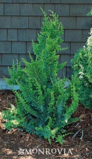 Fernspray False Cypress Conifers Garden Evergreen Garden Landscaping Plants