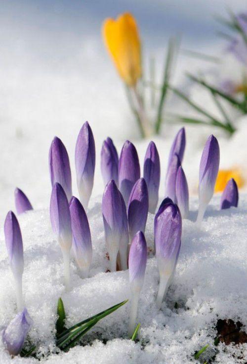 Die Ersten Boten Des Fruhlings Schnee Und Blumen Einfach