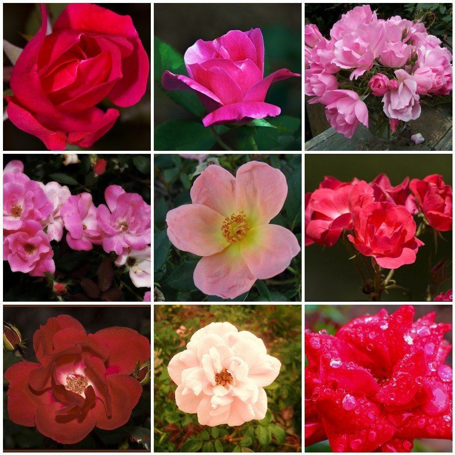 Knockout Roses, varieties #knockoutrosen Knockout Roses, varieties #knockoutrosen