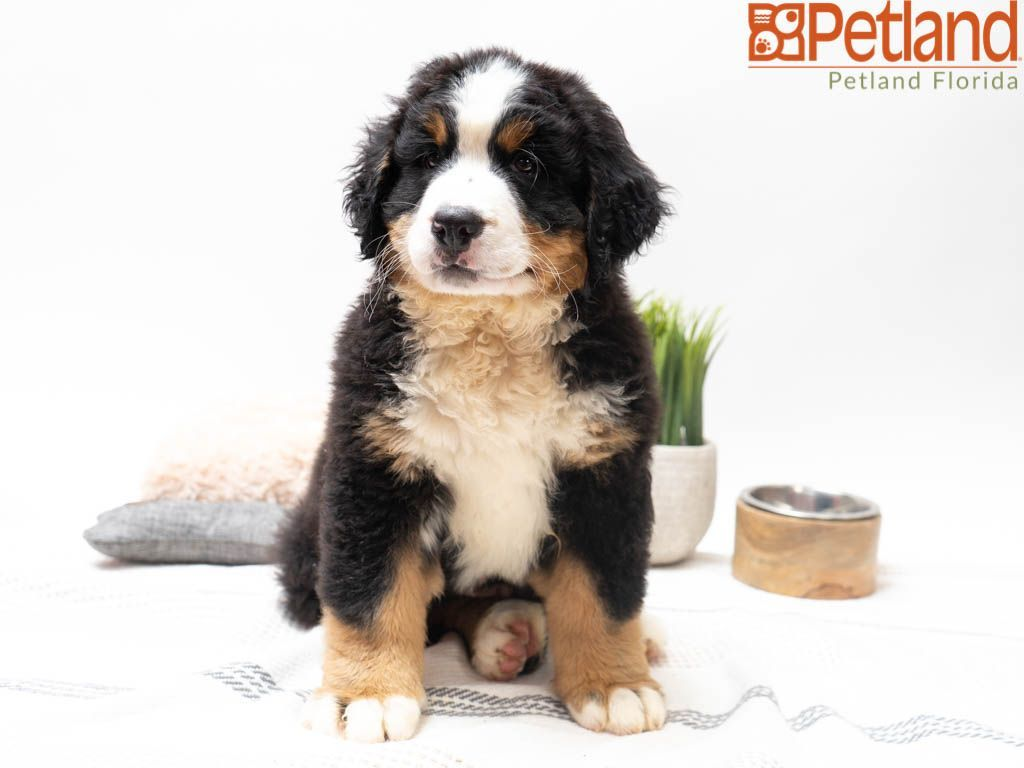 Petland Florida Has Bernese Mountain Dog Puppies For Sale Check Out All Our Available Puppies Bernesemoun Puppy Friends Bernese Mountain Dog Puppy Puppies