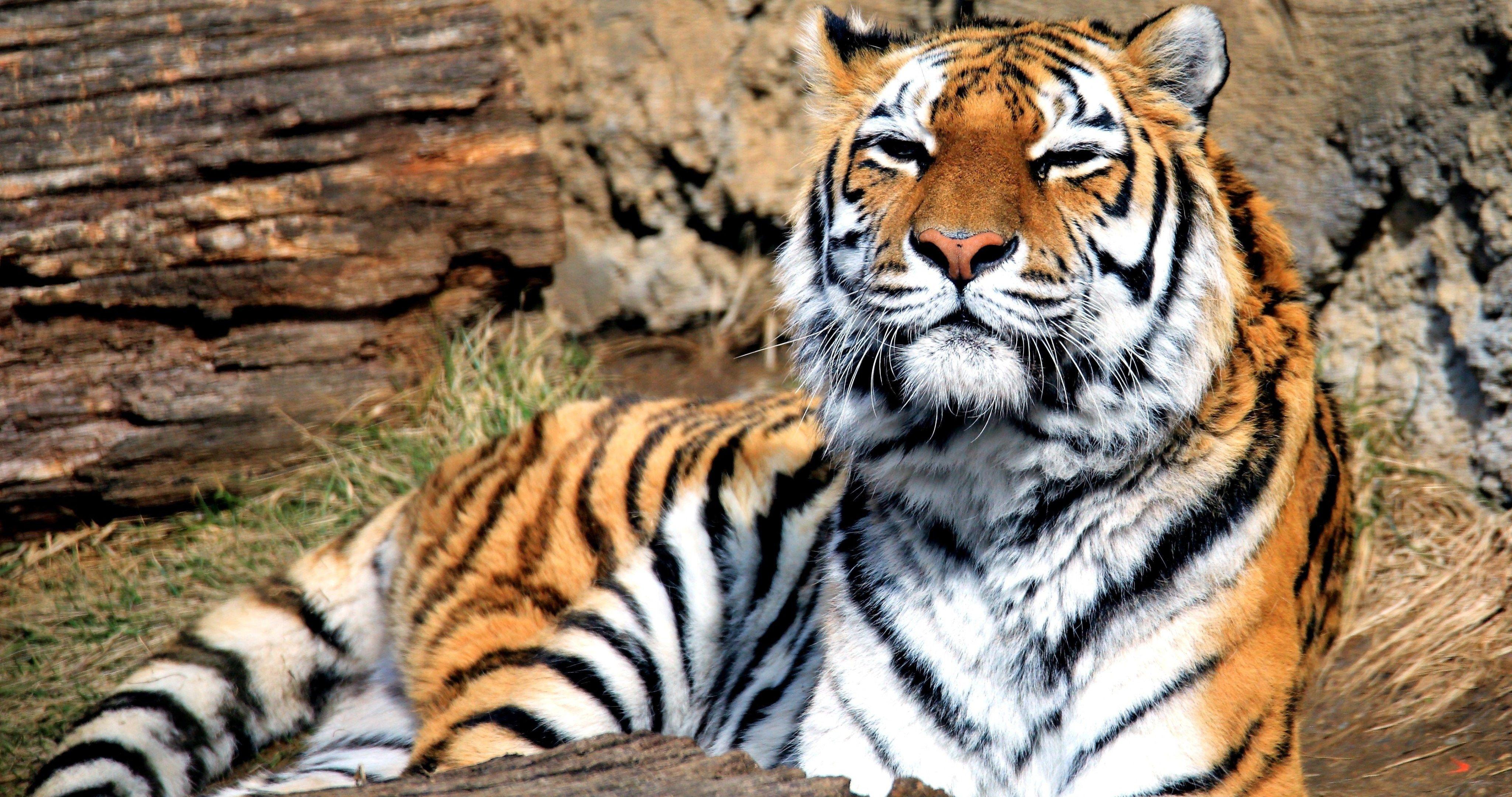 Big Cat 4k Ultra Hd Wallpaper Big Cats Cat Wallpaper Panthera