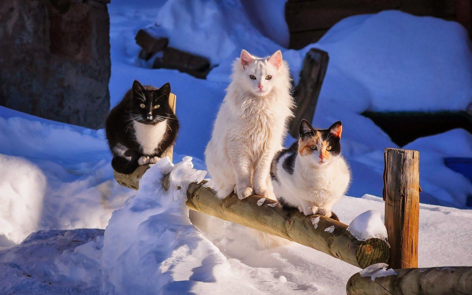 Schone Katzenbilder Schonen Winter Hintergrund Mit Katzen Im Schnee Hd Winter Cute Cat Wallpaper Winter Cat Cats