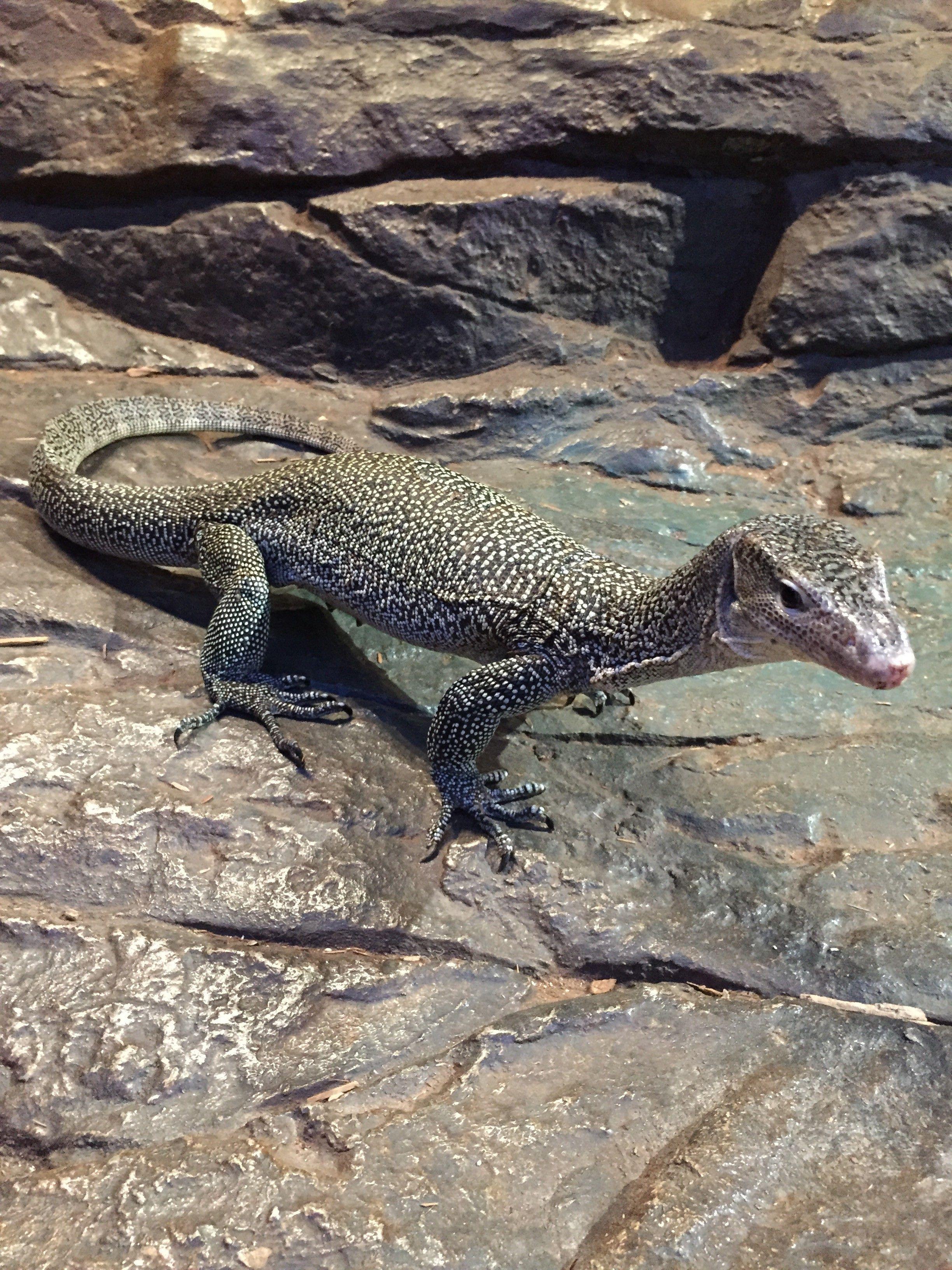 NERD Mangrove Monitor Reptiles pet