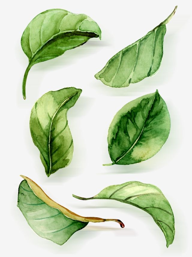 Watercolor Leaves Watercolor Clipart Leaf Green Leaf Png And Vector With Transparent Background For Free Download Watercolor Leaves Botanical Watercolor Leaf Drawing