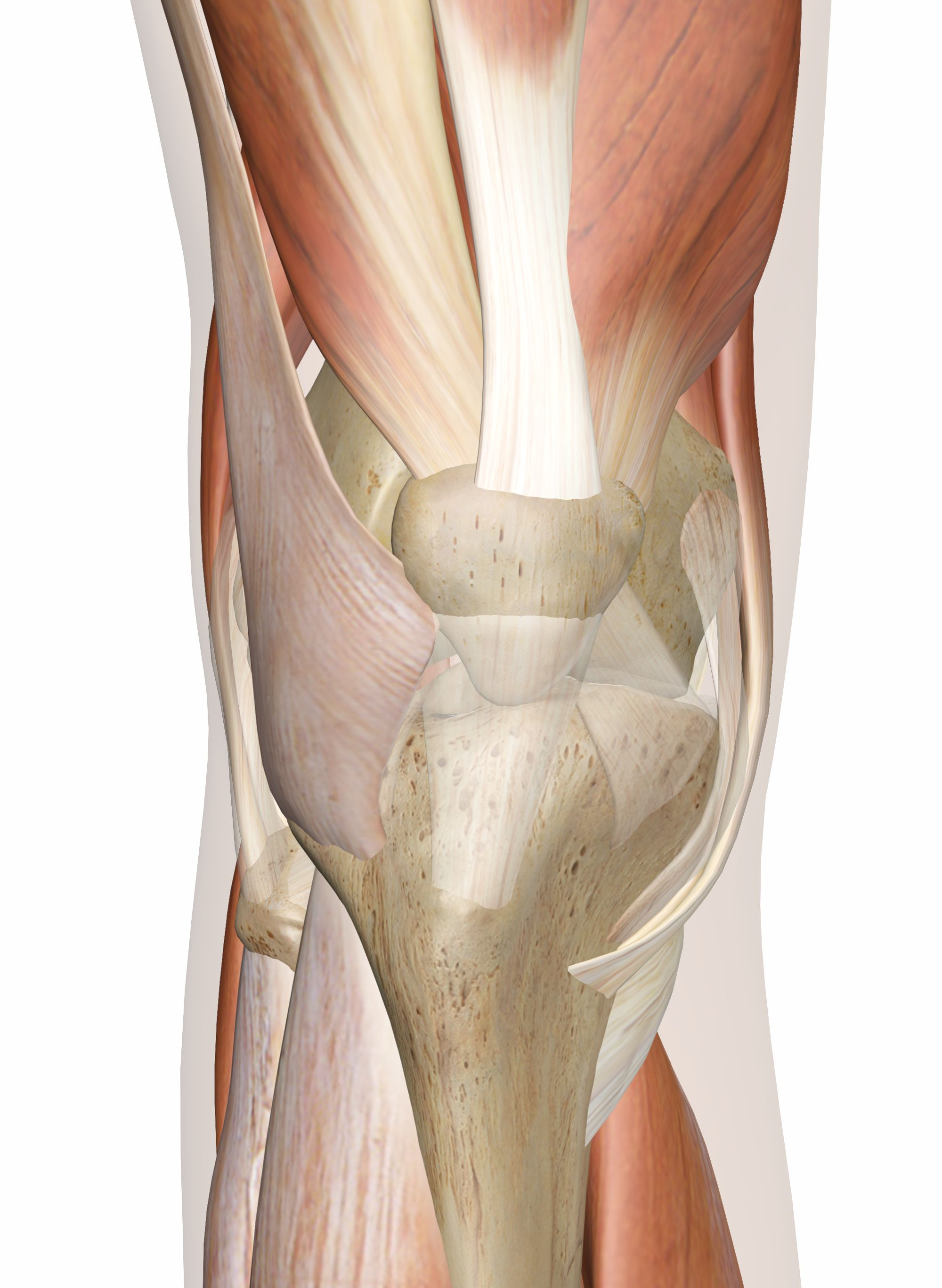 The Muscles Around Knee Diagram Wiring Diagrams Hubs