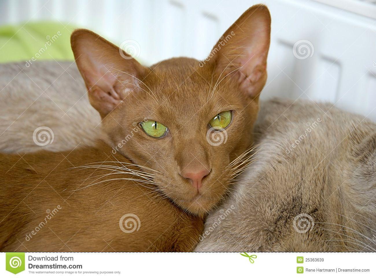 Cinnamon Oriental Shorthair Cats Pinterest
