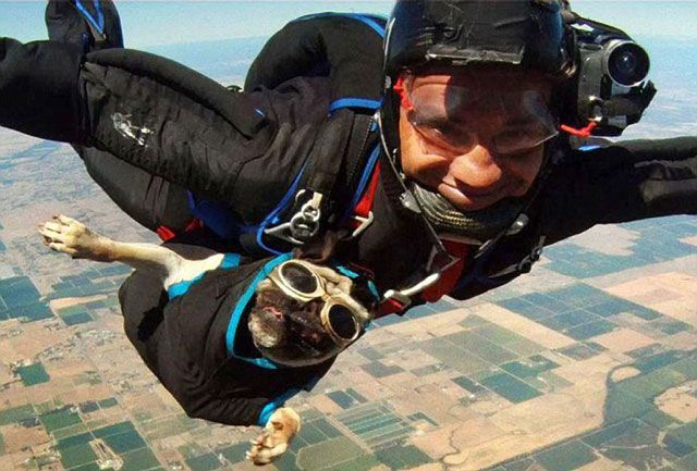 Repost Otis The Skydiving Pug Orvis News Funny Dog Pictures Pugs Funny Dogs