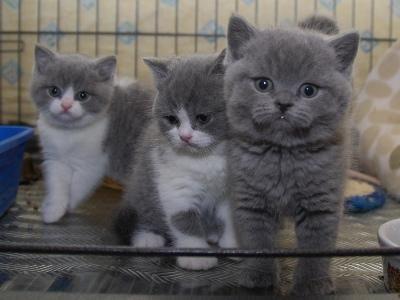 Babiessssssss British Shorthair Kittens British Shorthair