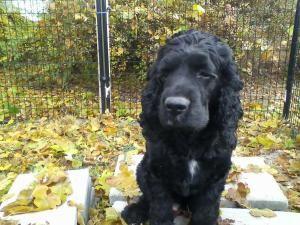 Adopt Max On Petfinder Dog Sounds Cocker Spaniel Cocker Spaniel Dog