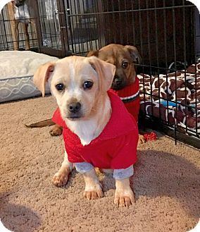 Columbus Oh Corgi Terrier Unknown Type Small Mix Meet Dumbledore A Puppy For Adoption Http Www Adoptapet Com Pet Pets Kitten Adoption Puppy Adoption