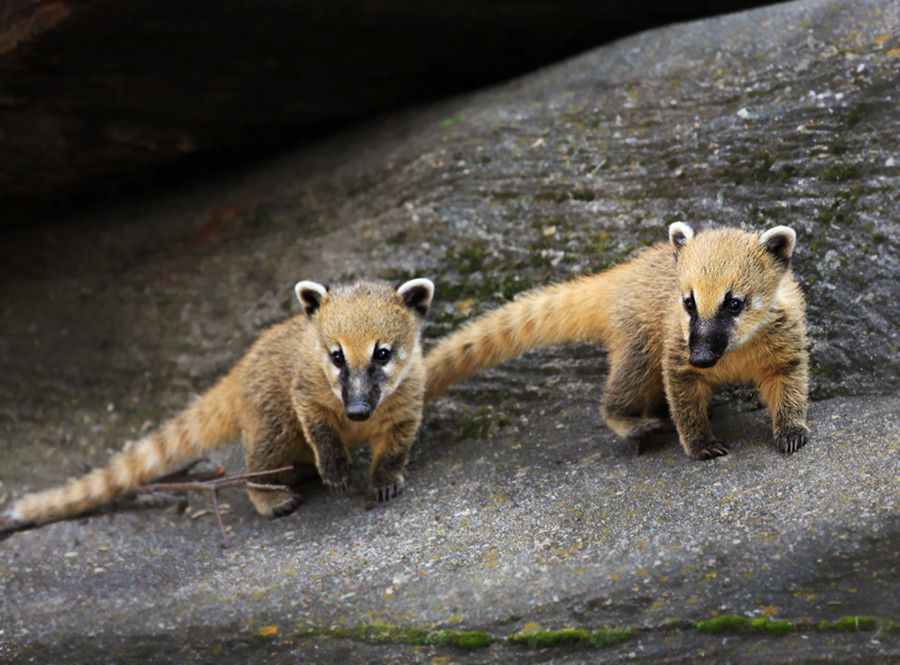 South American coati cubs by Klaus Wiese on 500px South