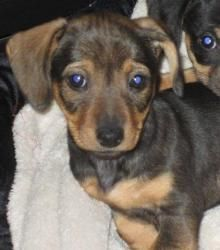 Adopt Reeses On Adoptable Dachshund Dog Dogs Dachshund Rescue