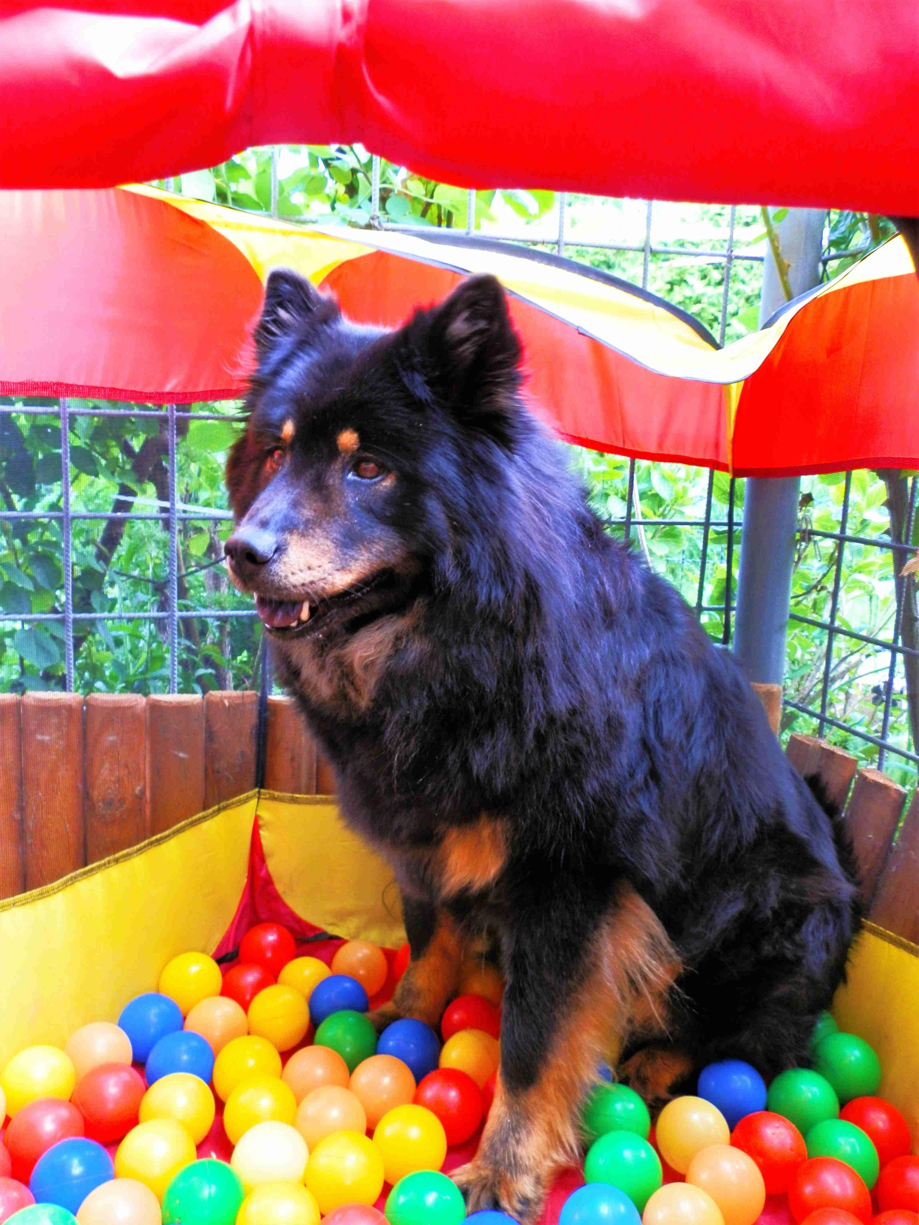 Eurasier Dog Schweiz Eurasier Und Schweiz