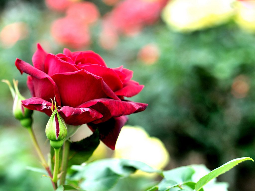 Related image Rose images hd, Rose images, Flowers