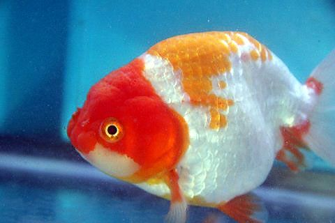 Ranchu Goldfish For Sale From Mona S Koi Goldfish For Sale Goldfish Aquarium Fish