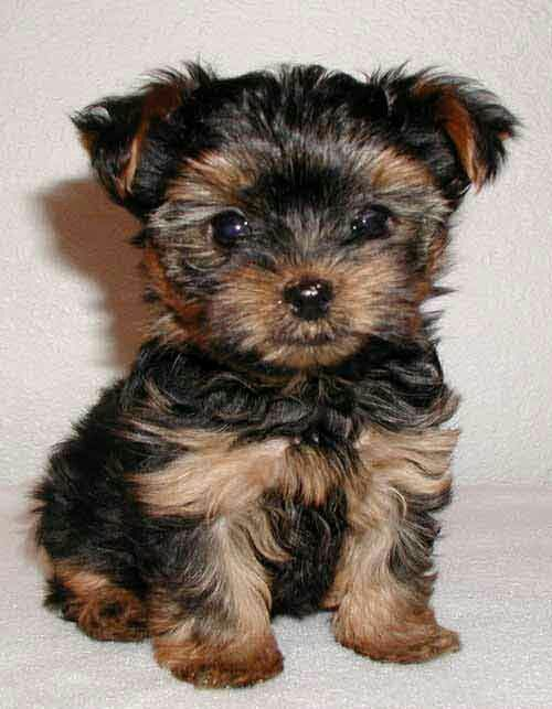 Yorkie ( I want one so bad Dog breeds that dont shed