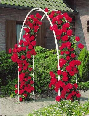 Le rosier grimpant 39 musimara 39 est rustique et vigoureux for Decoration jardin rosier