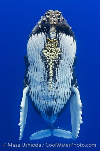 balaenoptera, humpback, barnacle, parasite | baleines ...