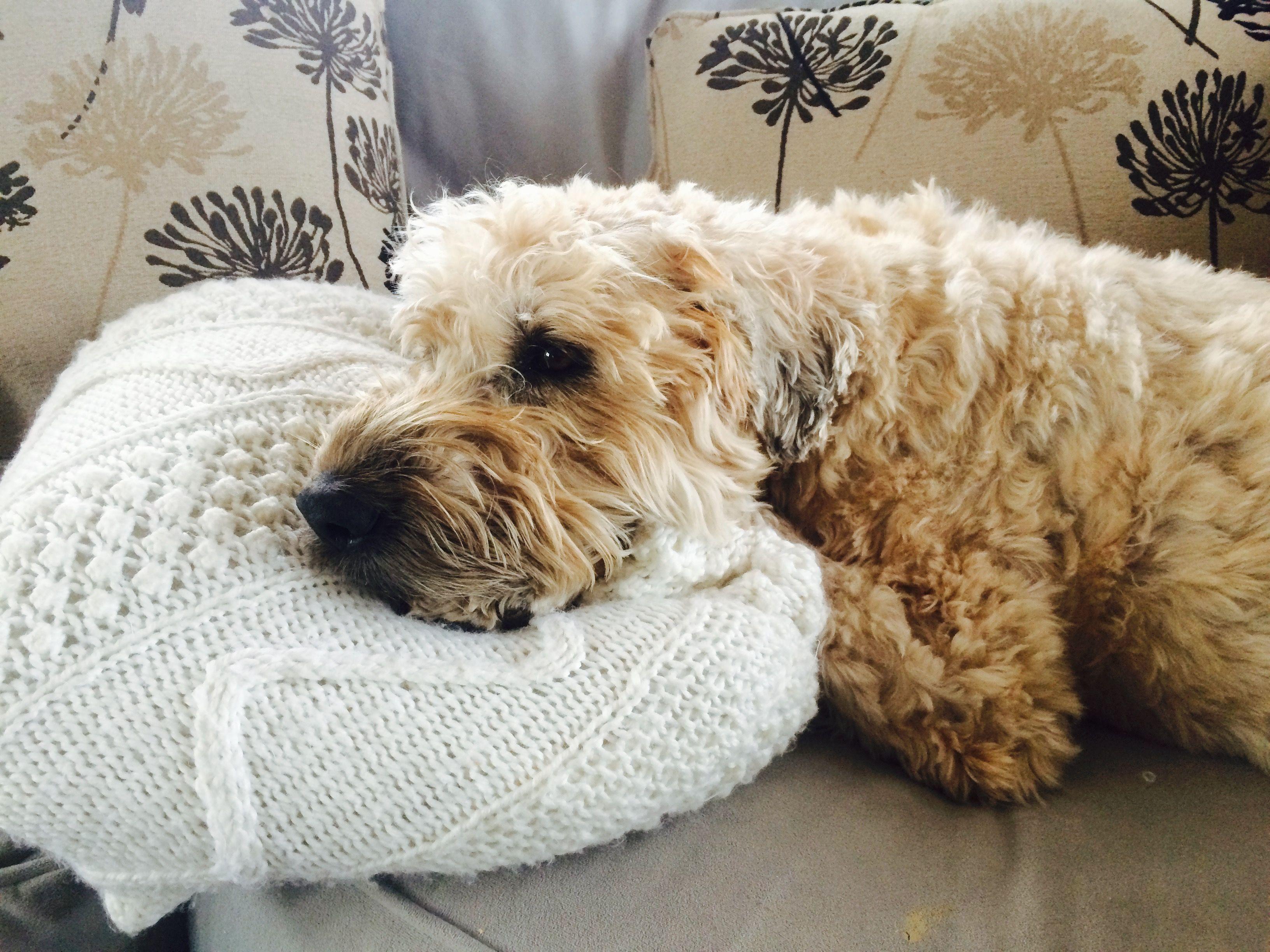 Hummm soft coated wheaten terriers pinterest wheaten