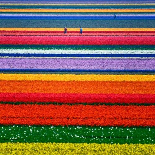 The Tulips of Holland... 21days and counting!