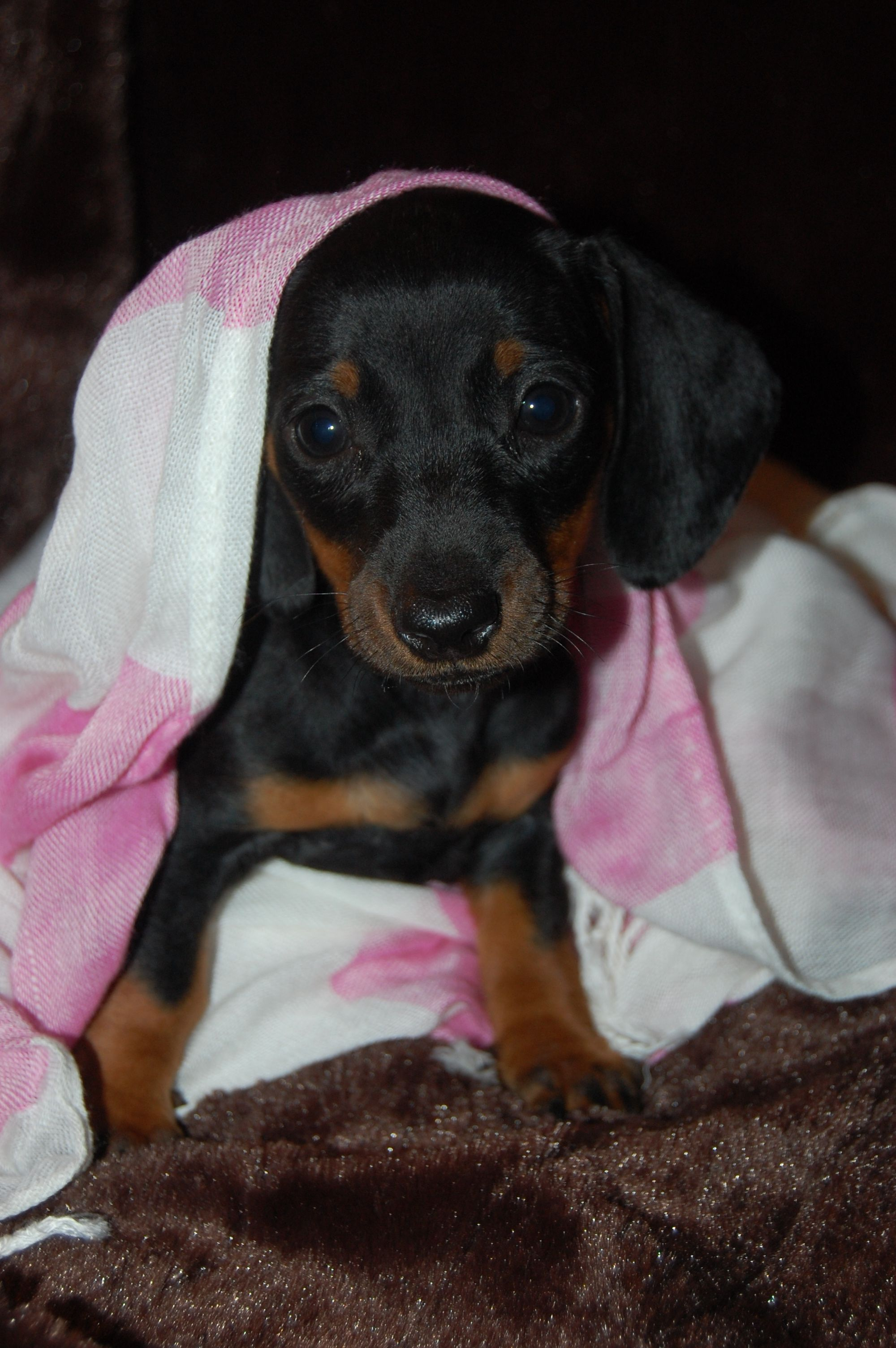 Dachshund Puppies For Sale In Southern Illinois