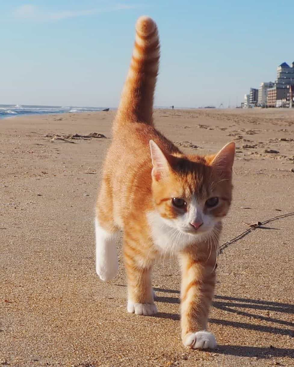 Meet The Darling And Adventurous Pip The Beach Cat World Famous Rescue Kitten In Ocean City Md Don T Miss Our Exclusive Inter Cats Kitten Rescue Orange Cats