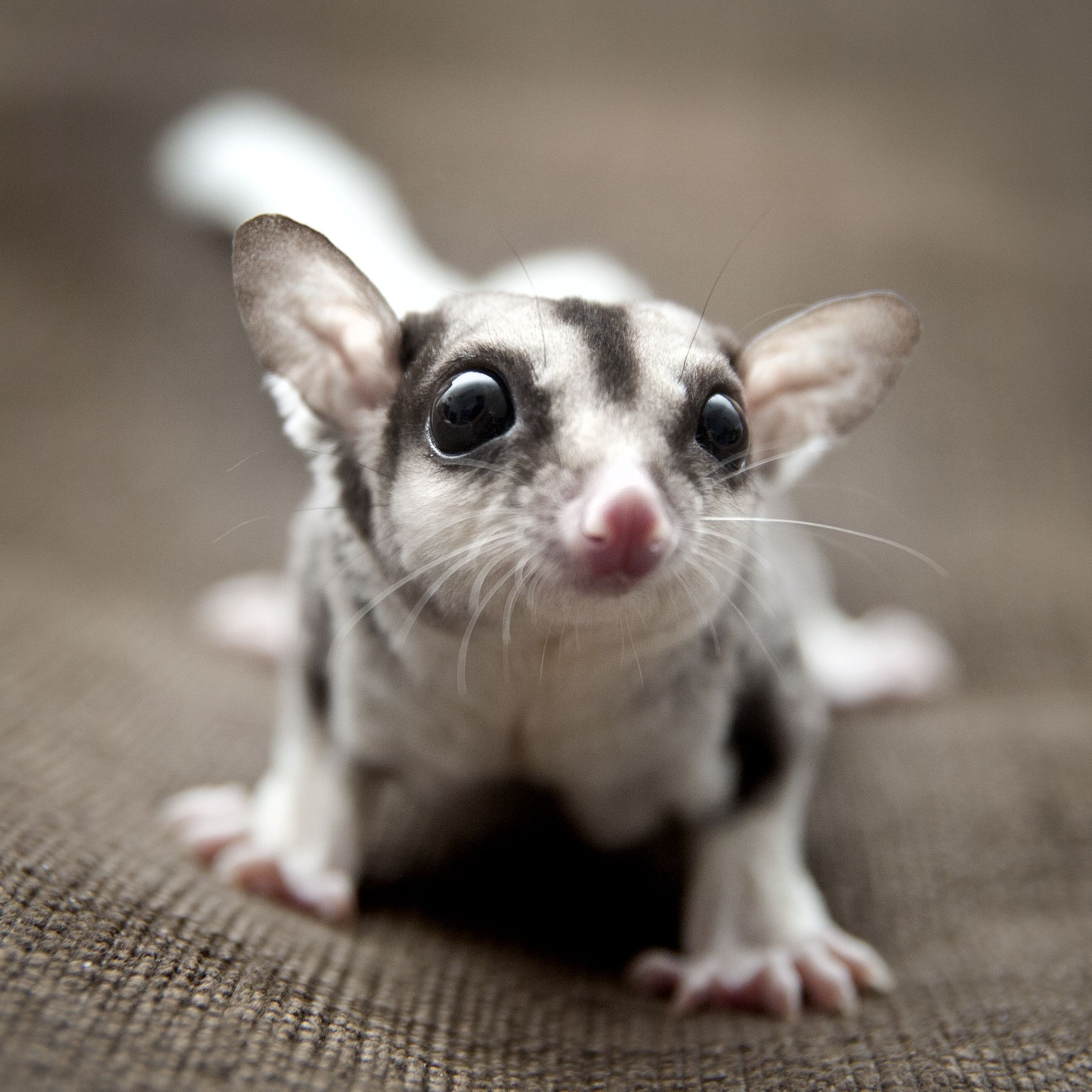 Boris the Sugar Glider 4 month old mosaic sugar glider | My Sugar ...