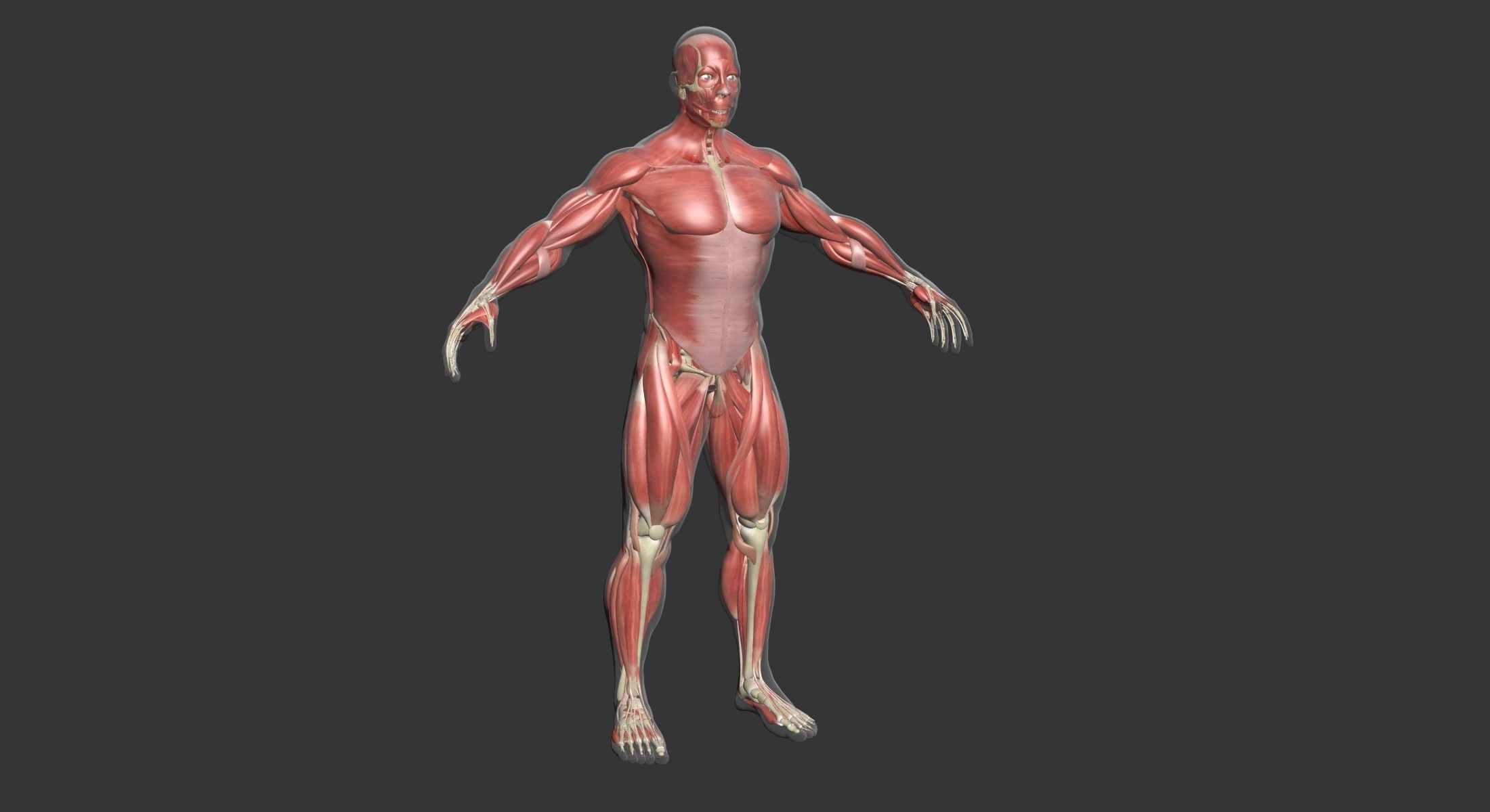 Human Male Complete Muscle Anatomy 3d Model 3d Characters
