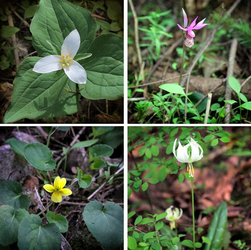 986159595cbd50da2c4212fd6039af84 - Gardening With Oregon Native Plants West Of The Cascades