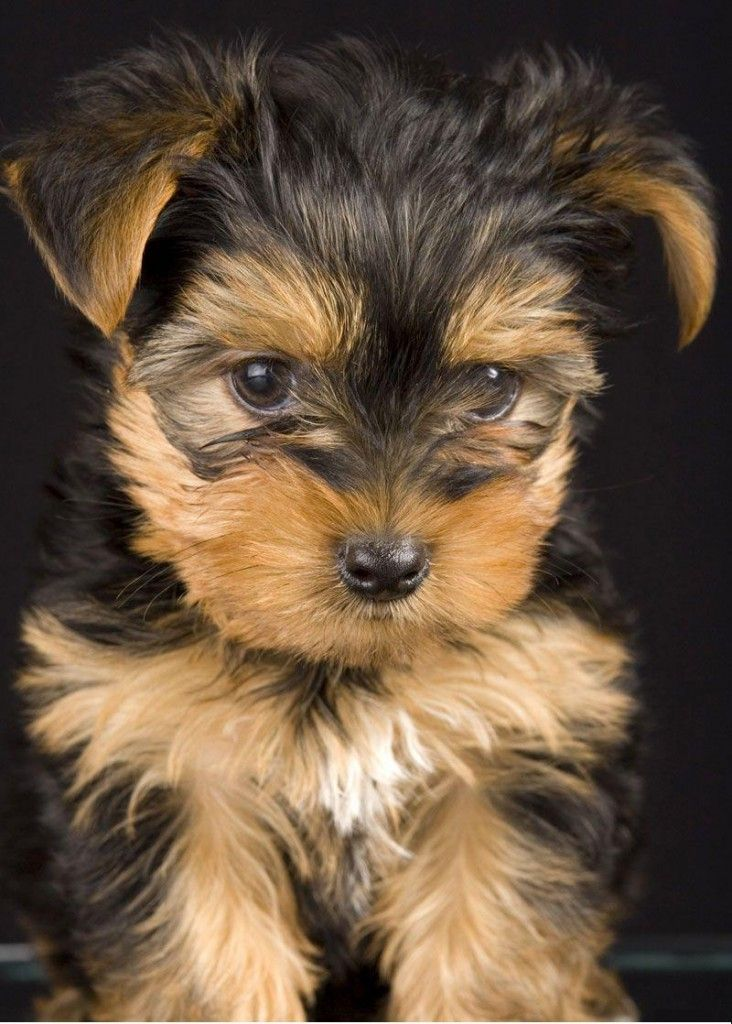 yorkshire terrier puppy photos | animals | Yorkshire ...