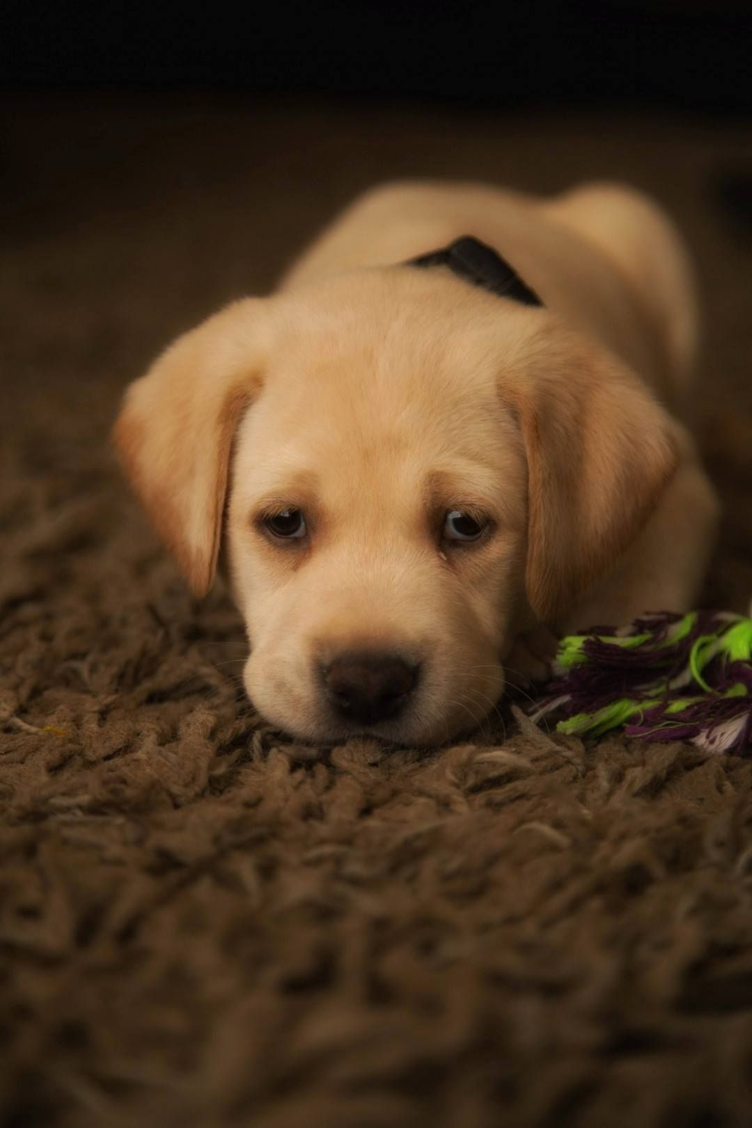 Bartley The Yellow Lab Cute Dogs And Puppies Cute Dogs Cute Puppies