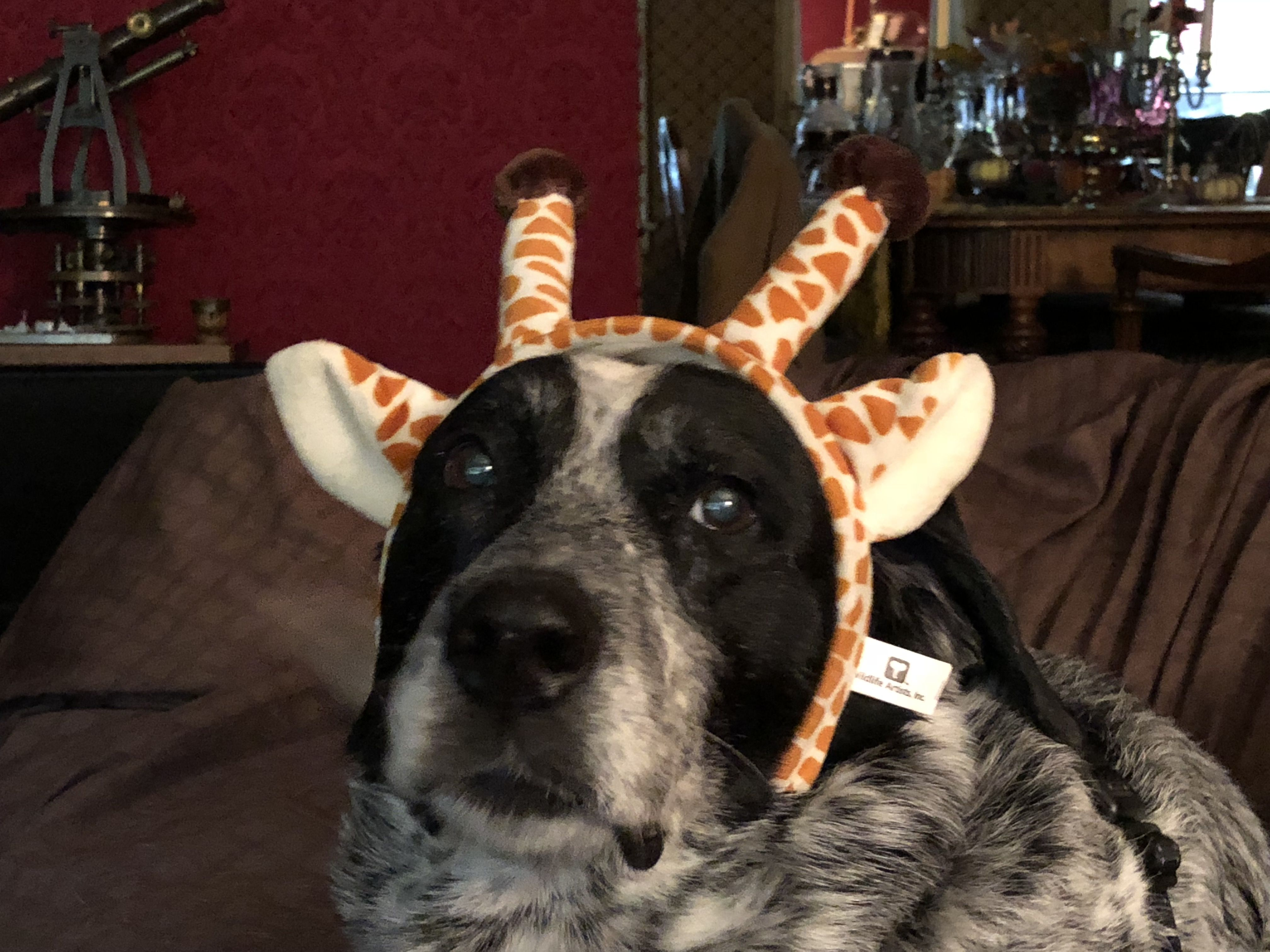Amber, the giraffe dog. Giraffe, Dogs, Animals