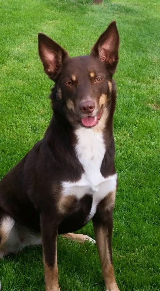 Australian Kelpie Australian Kelpie Australian Sheep Dogs