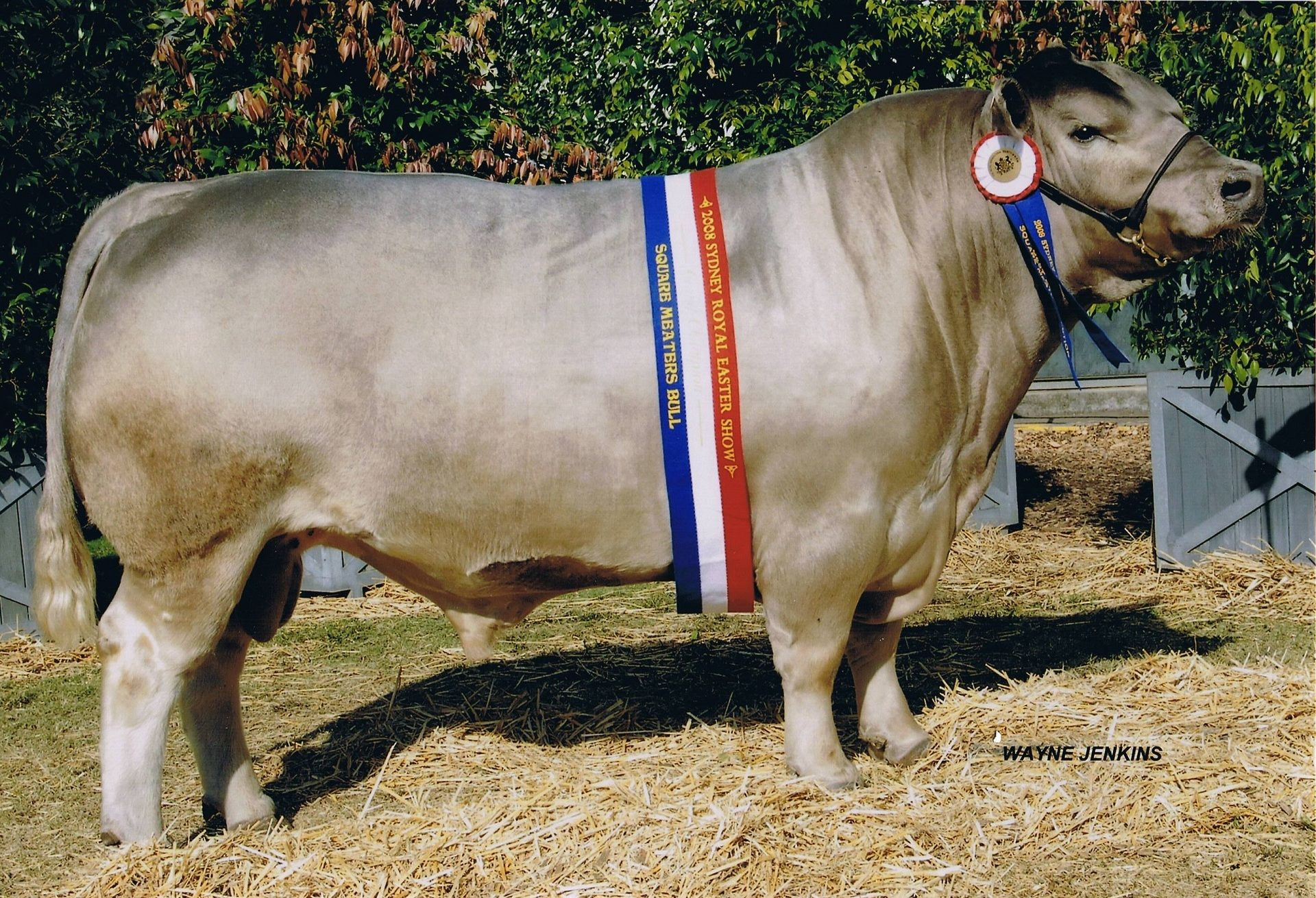 square meaters bull brinsley anzac cattle pinterest cattle
